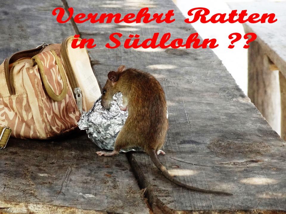 Vermehrt Ratten in Südlohn?